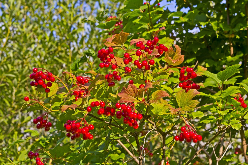 Arrowwood viburnum is one shrub that is rarely damaged by deer.