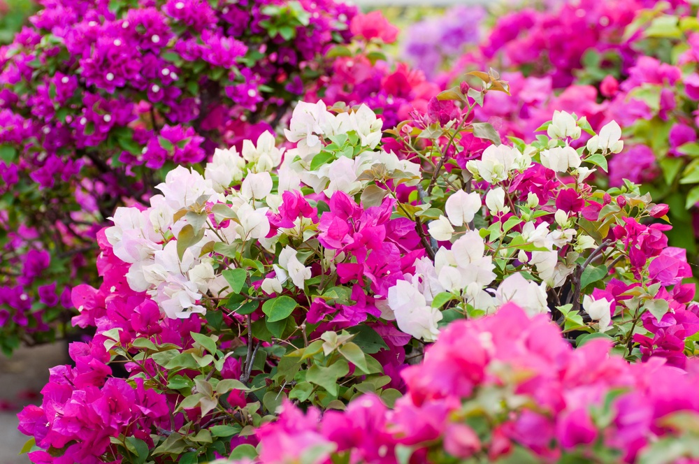 Bougainvillea is a great vine for covering your pergola!