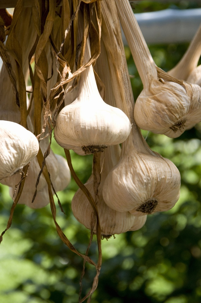Garlic is one smell deer just can't stand, so grow it in your yard to keep them away.