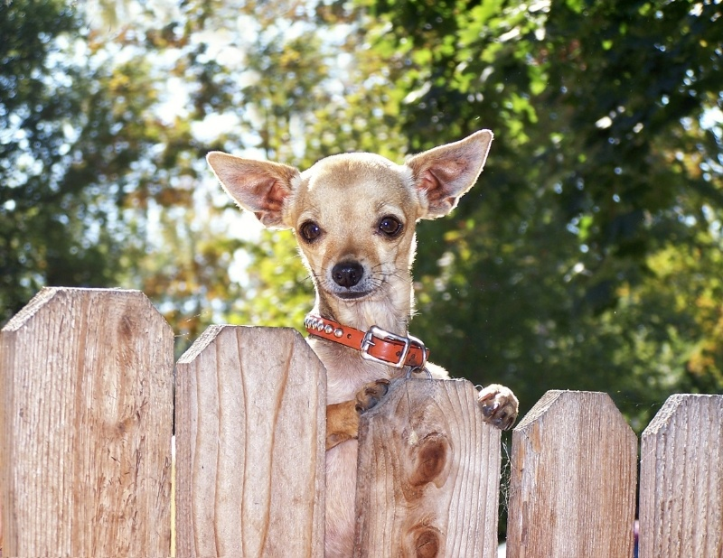 Chihuahua behind a wooden fence