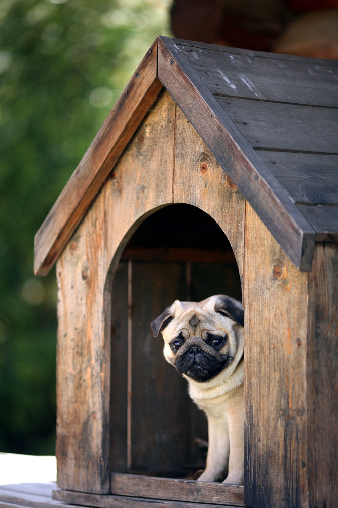pug_in_doghouse