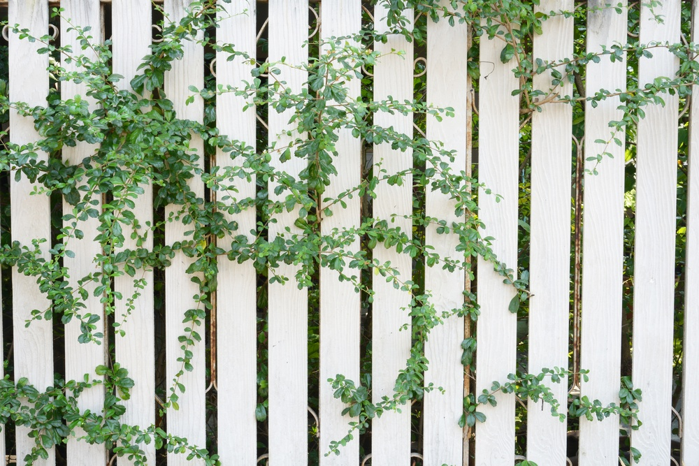 Make sure you educate yourself about the vines you introduce to your yard.